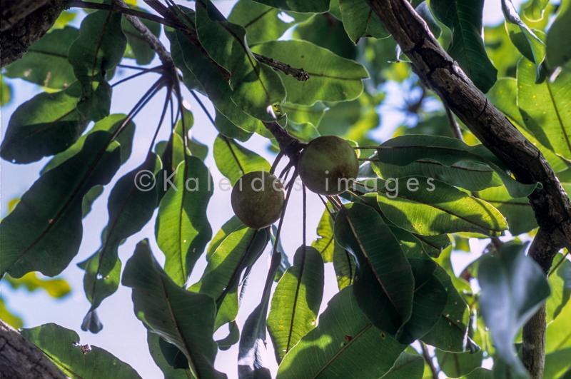 Africa;Afrique;Arbre à Karité;Arbres;Benin;Butyrospermum parkii;Bénin;Fruits;Kaleidos;Kaleidos images;Karité;Shea;Shea tree;Tarek Charara;Vitellaria paradoxa