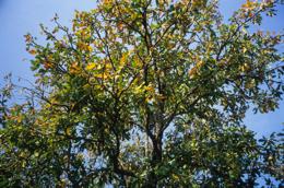 Africa;Afrique;Arbre-à-Karité;Arbres;Benin;Butyrospermum-parkii;Bénin;Kaleidos;Kaleidos-images;Karité;Savane;Savannah;Shea;Shea-tree;Tarek-Charara;Vitellaria-paradoxa