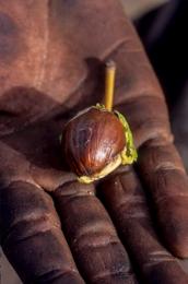 Africa;Afrique;Arbre-à-Karité;Arbres;Benin;Butyrospermum-parkii;Bénin;Kaleidos;Kaleidos-images;Karité;Shea;Shea-tree;Tarek-Charara;Vitellaria-paradoxa