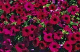 fiore;Blume;flor;flower;fleur